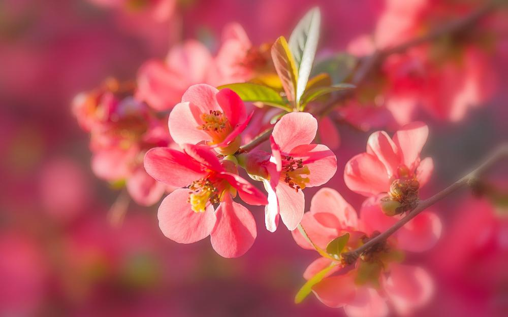 Quince, flowers, bloom