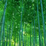 Bamboo forest, thickets, dense, green, nature, landscape desktop wallpaper