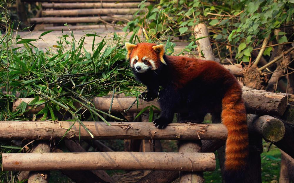 Red panda, on the steps, wooden