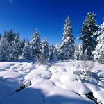 Winter, trees, spruce, pines, snow