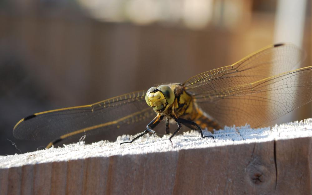 Dragonfly, wings, sitting