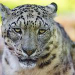 Cat, face, snow leopard