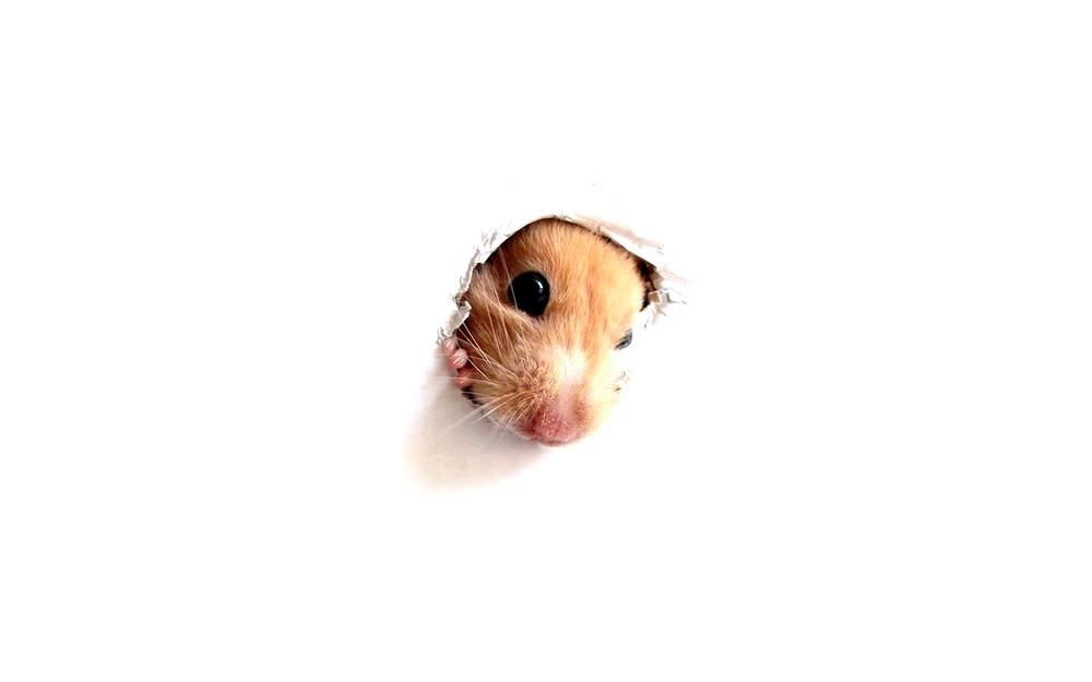 Hamster, rodent, photo