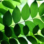 Leaves, branches, green leaves, leaf texture, green background, eye protection, desktop wallpaper