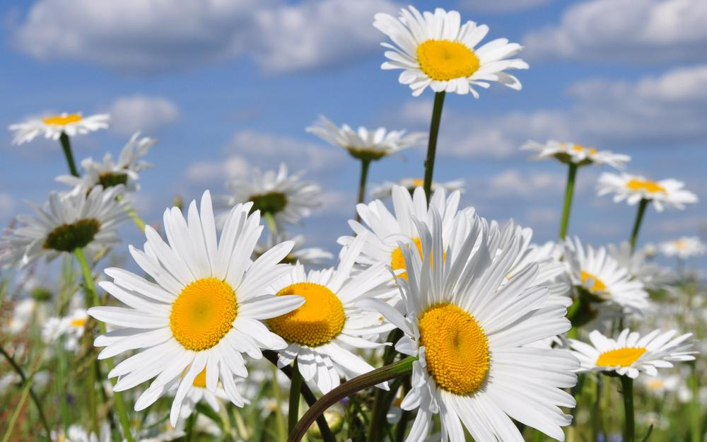 Chamomile, summer, nature, flowers