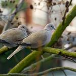 Two doves on a tree