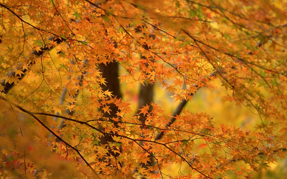 Trees, autumn, background, foliage, orange