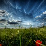 Fields, flowers, field, nature, poppies, grass, macro, landscapes