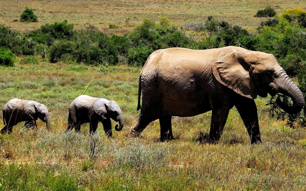 Mother, elephant, cubs, grass, bushes, three