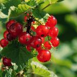 Berry, branch, currant