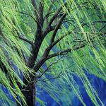 Weeping willow, spring