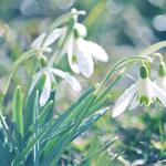 Spring, snowdrops, leaves, drops, flowers