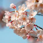 Blossom, sky, spring, branch wallpaper