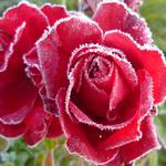 Flowers, frost, cold, roses