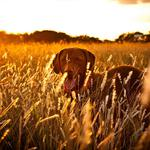 Sunset, field, dog