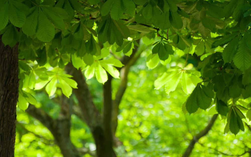 Tree, green leaves, nature eye protection landscape computer wallpaper