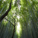 Bamboo, bamboo leaves, trees, green bamboo forest, nature eye protection desktop wallpaper