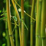 Nature, bamboo, bamboo stems, green bamboo leaves, hd bamboo forest scenery desktop wallpaper