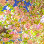 Sky, tree, garden, flowers, pink flowers, spring desktop wallpaper