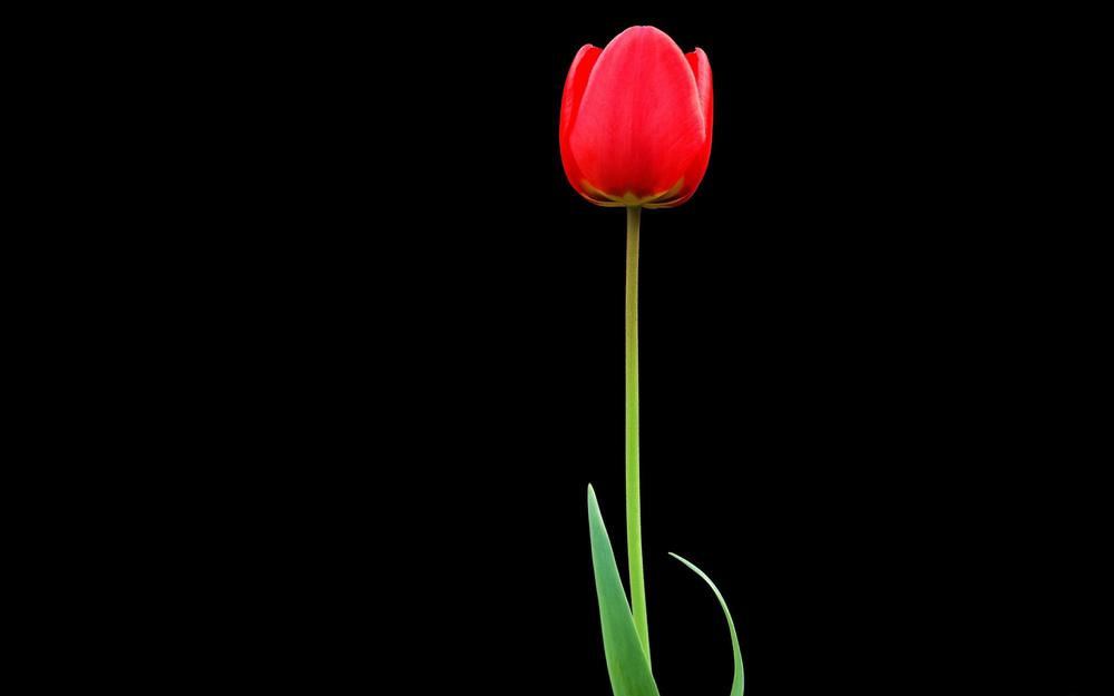 One, tulip, flower, red