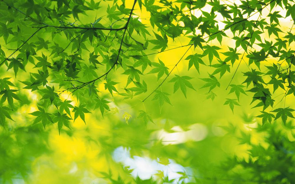 Summer, leaves, leaves, green leaves eye protection desktop wallpaper
