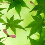 Green leaves, maple tree, branches, natural eye protection scenery desktop wallpaper