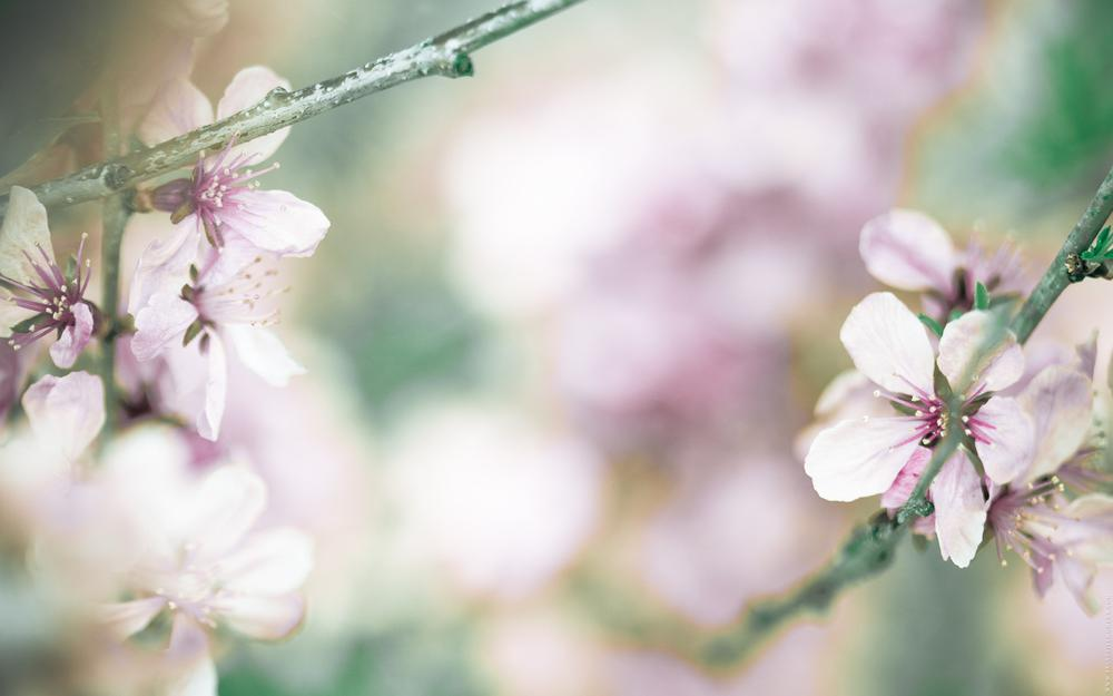 Wallpaper, spring, cherry, flowers
