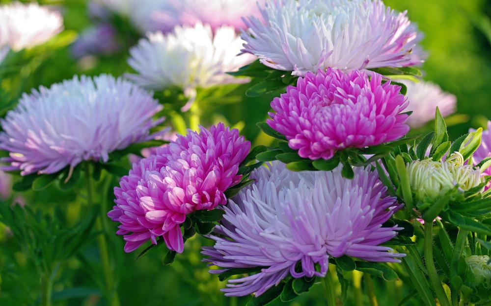 Autumn, asters