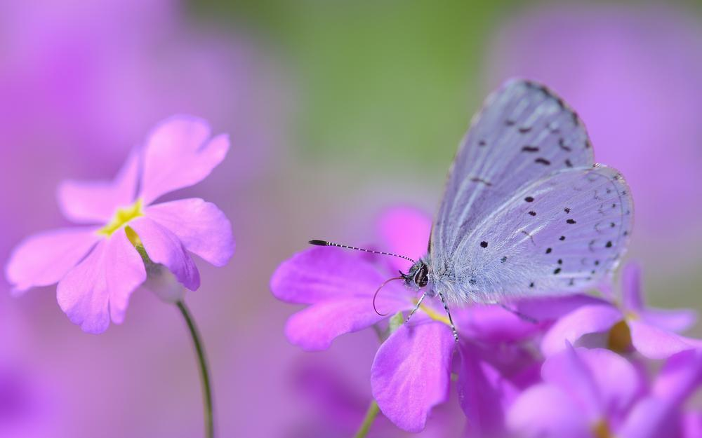 Flowers, butterfly, pink-lilac, blur