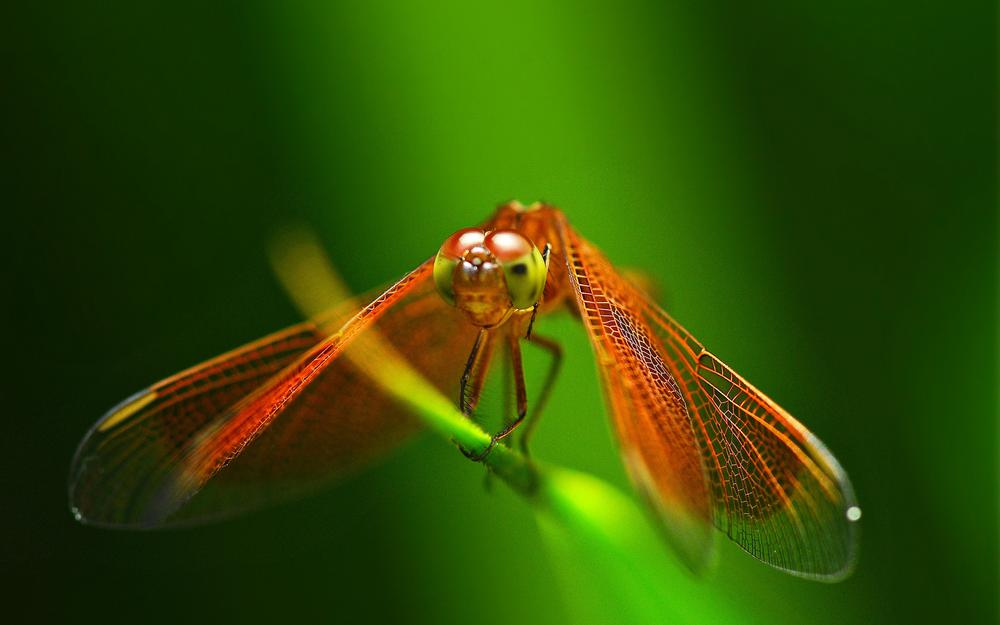 Dragonfly, insect, blade of grass, red