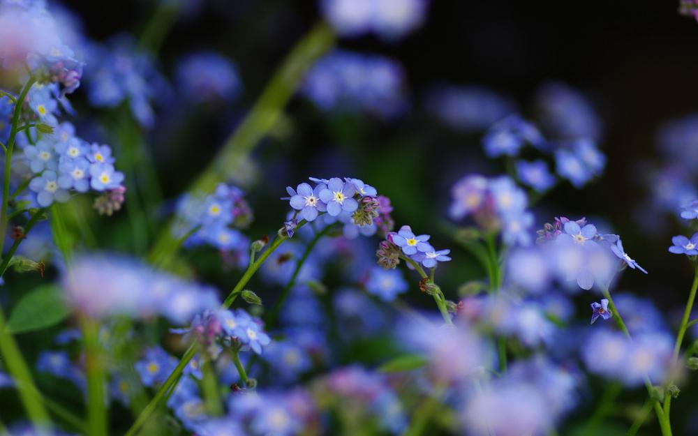 Forget-me-nots, flowers, blue