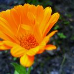 Orange, beautiful, flower