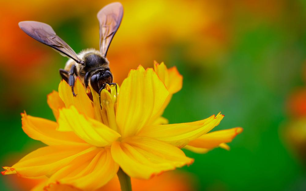 Wings, bee, flower, nectar, focus, insect, yellow