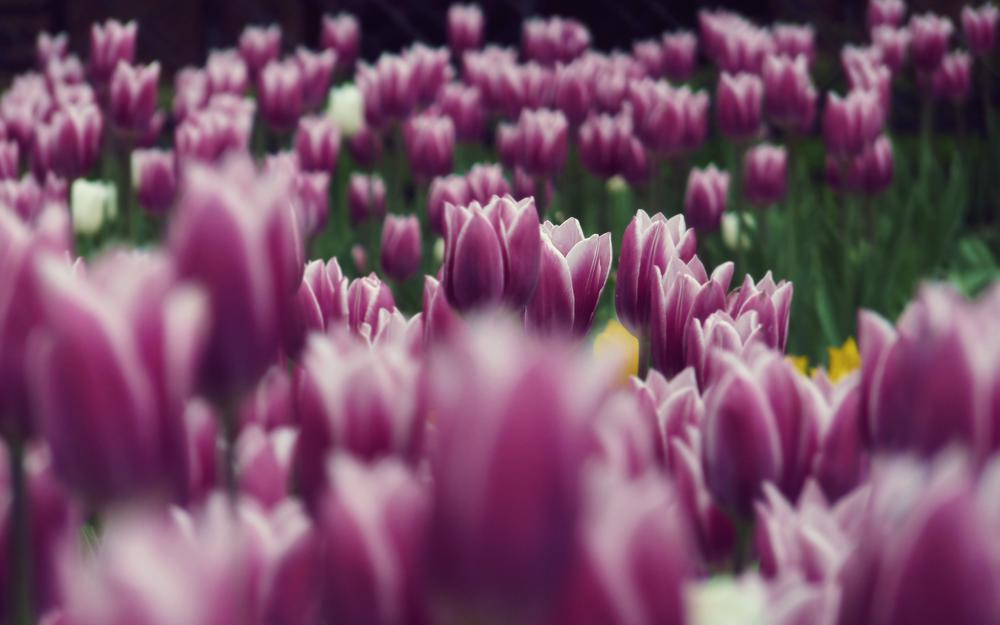 Tulips, lilac, flowers