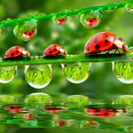 Water, reflection, drops, reflection, water, drops, a blade of grass, blade of grass, ladybirds, ladybugs
