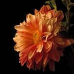 Stem, flower, orange, dahlia, flowers