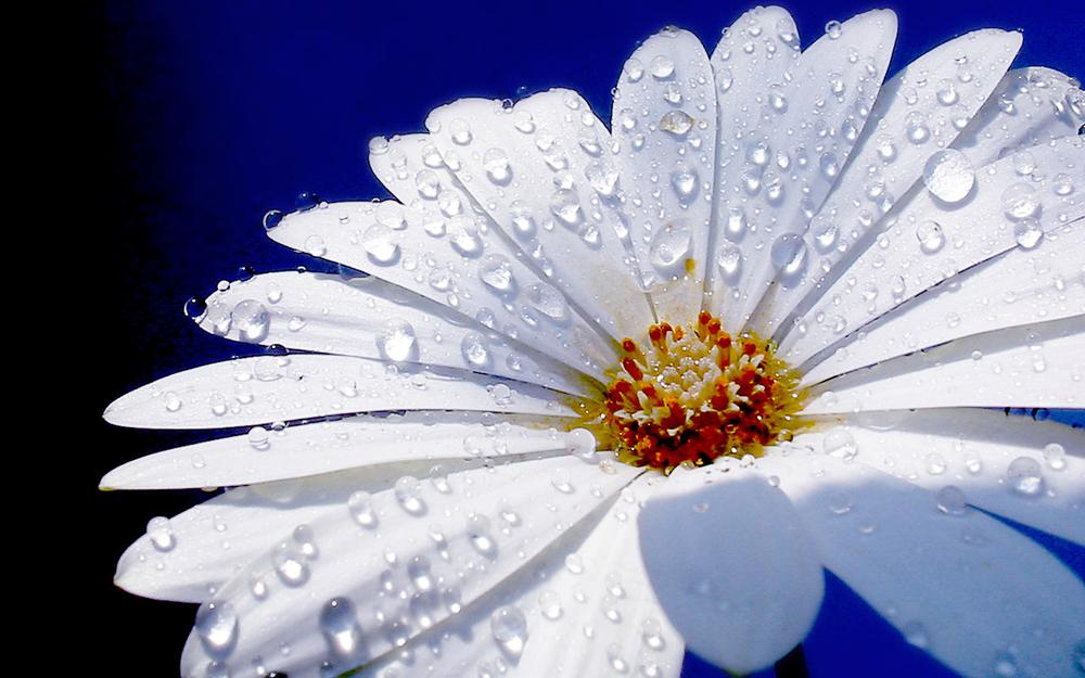 Water drops, chamomile, flower