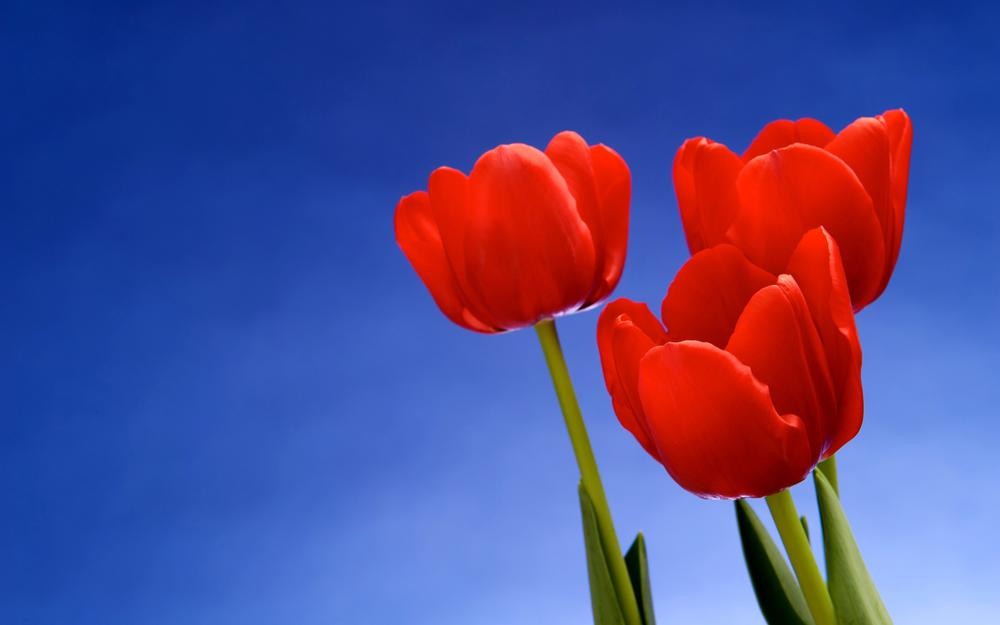 Red tulips against the sky hd wallpaper