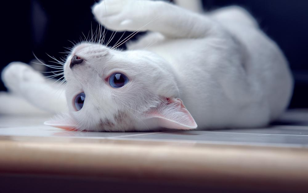 Blue eyes lies, cat, by one-photographie