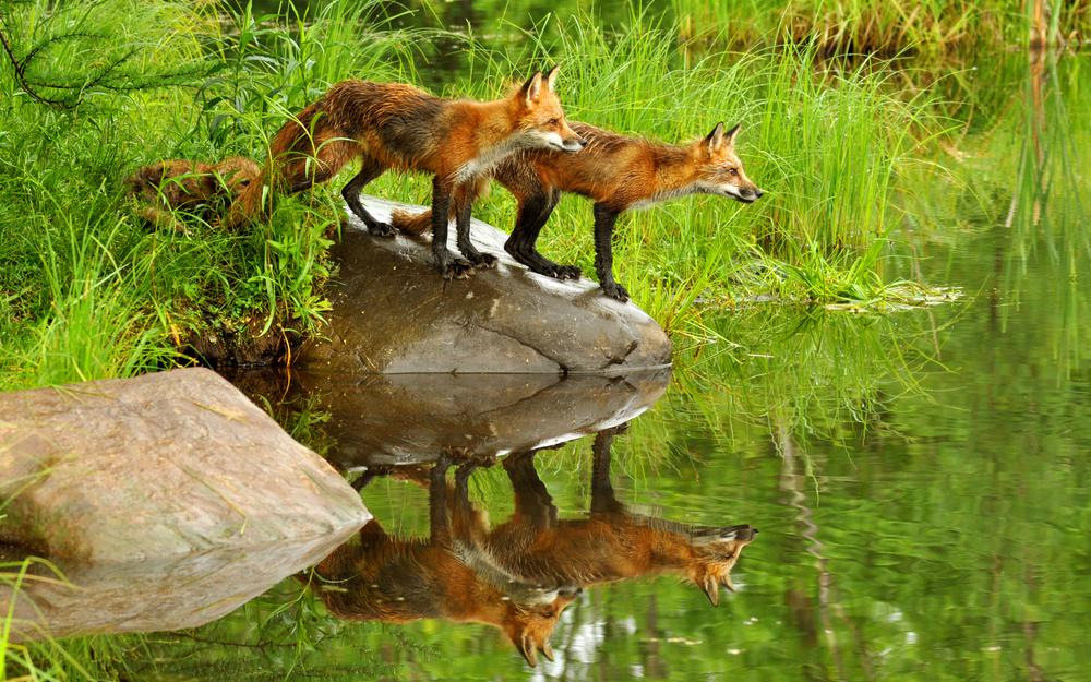 Red, foxes