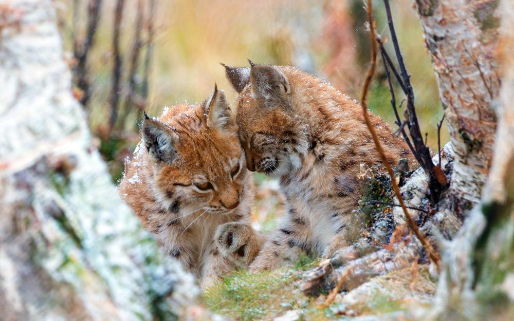 Lykti, autumn, couple, wild, caressing, lynx, cats, nature, branches, two, trees, lynx, forest