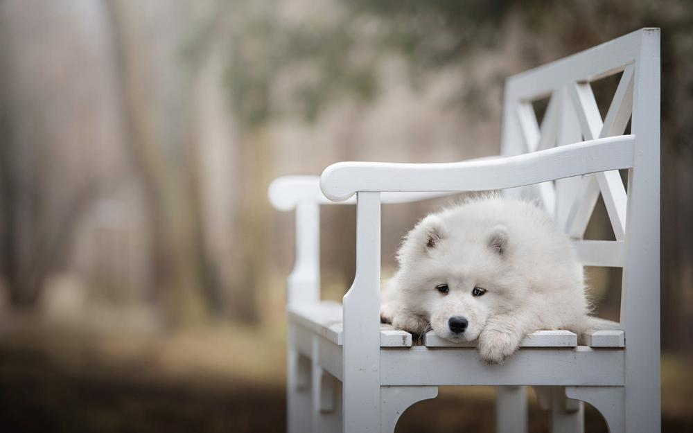Nature, view, samoyed, park, dog, wooden, bench, paws, leaves, background, pose, white, blurring, baby, lies, white, sadness, puppy, shop, mord