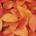Leaves red autumn leaves red autumn