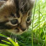 Grass, cat, in, baby, the