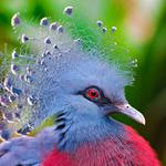 Bird, crowned pigeon, feathers