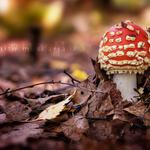 Leaves, amanita, forest