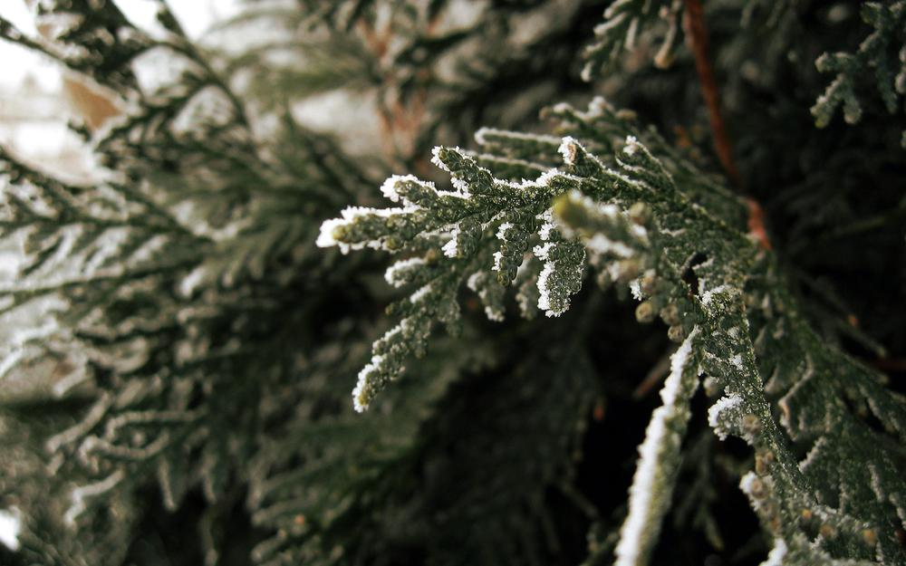 Fir branch, winter, snow