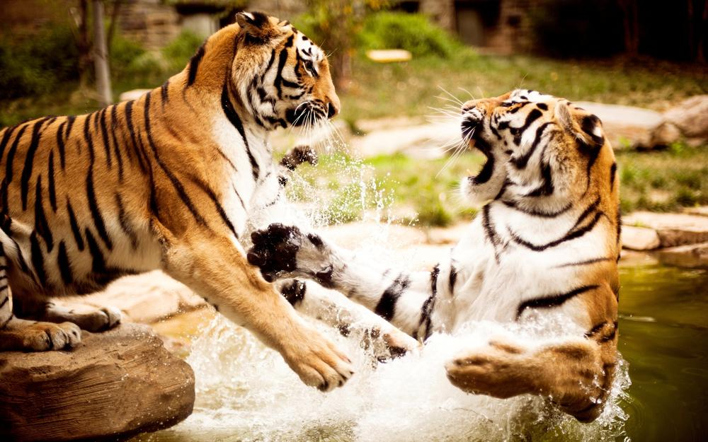 Water, fighting, tigers, aggression, couple wallpaper