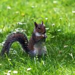 Squirrel in the grass wallpaper