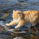 Red cat through the rocks in the river